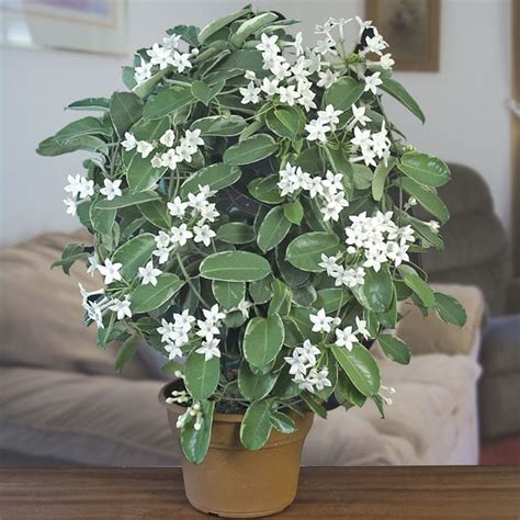 fragrant plants for indoors variegated madagascar stephanotis floribunda