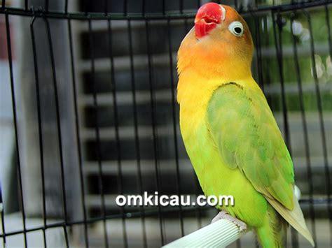Hipnotis Lovebird By Chan Kicau hasil lengkap day jogja 9 burung nyeri termasuk
