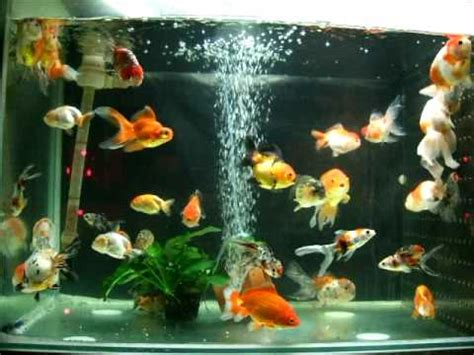 aquarium design group goldfish all in one goldfish tank youtube