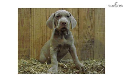 weimaraner puppies for sale in ky weimaraner puppy for sale near bowling green kentucky 6a566e52 a7f1