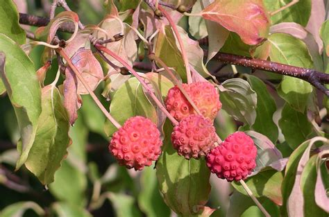 dogwood tree fruit edible file cornus kousa fruit jpg