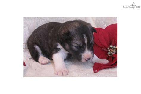 agouti husky puppies for sale agouti siberian husky puppies for sale
