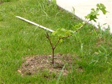 comment tailler une treille de raisin plantation de la vigne