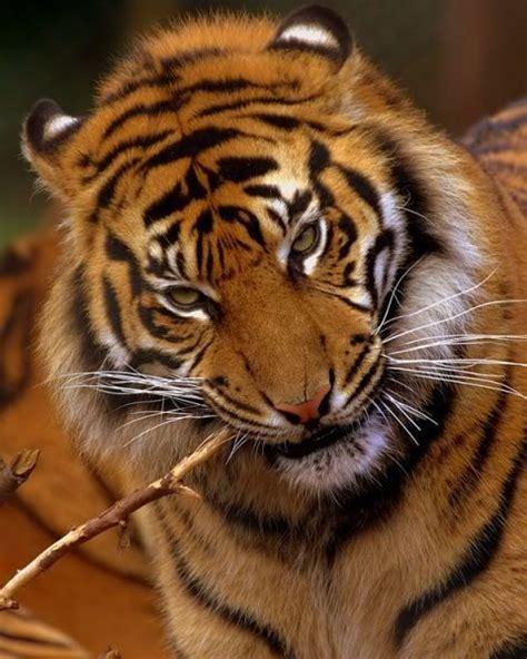 whatsapp wallpaper tiger 99 best felinos salvajes images on pinterest big cats