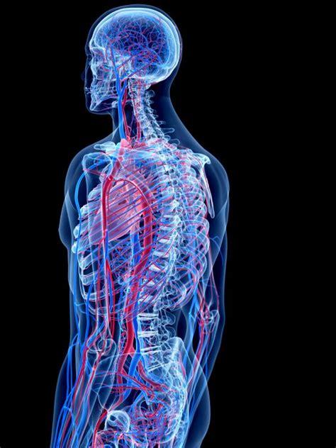 imagenes de los nombres del cuerpo humano en ingles sistemas del cuerpo humano y sus funciones uncomo