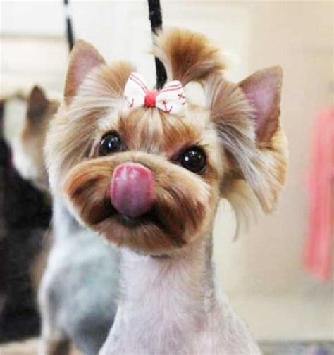 yorkie dog hair styles yorkie haircuts 100 yorkshire terrier hairstyles