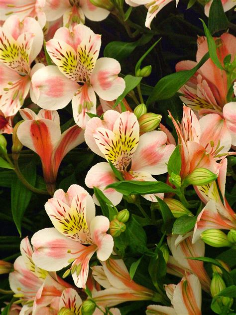 astro flower alstroemeria care flower pressflower press