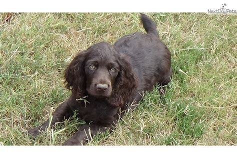 boykin spaniel puppies for sale in sc rocker boykin spaniel puppy for sale near greenville upstate south carolina