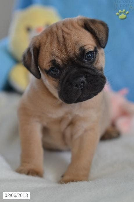 pug puppies for sale in ohio cheap 239 best bull dogs images on