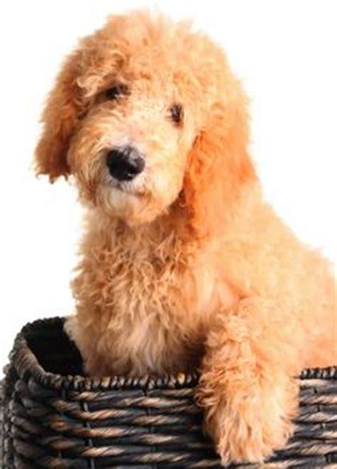 goldendoodle puppy timeline 1000 images about goldendoodles dogs i on