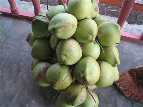 kelapa hijau kasiat dan cara penggunaannya problem bobo minyak kelapa dara omara