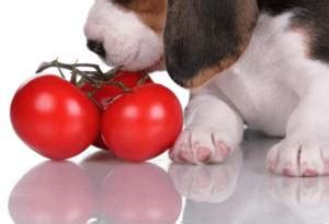 are tomatoes ok for dogs can dogs eat tomatoes pet health