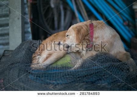 do golden retrievers bite golden retriever cleanup fur and bite flea stock photo 281784893