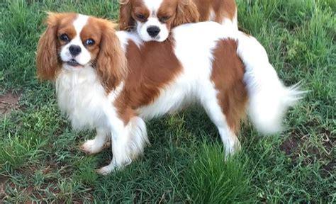havanese puppies oklahoma cavalier king charles spaniels oklahoma terrier puppies oklahoma