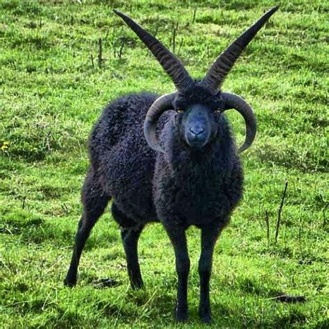 goat illuminati baphamet the goat illuminati illuminati
