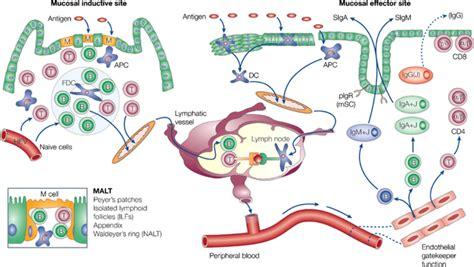immunity mucosal immune response mucosal mucosal immunity