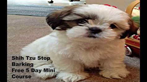 how to shih tzu not to bark shih tzu stop barking free 5 day mini course learn how to your shih tzu to stop