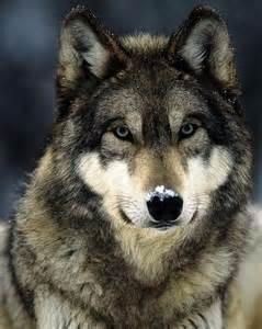 les 25 meilleures id 233 es de la cat 233 gorie loups sur