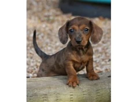micro mini dachshund puppies for sale nc dachshund puppies for sale nc photo