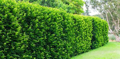 fast growing plants for privacy hedges fast growing