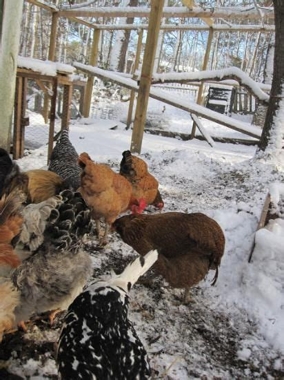 heat l for chickens in winter pinterest the world s catalog of ideas