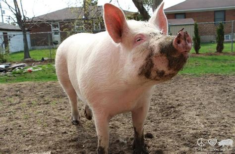 Animal Farm Pig esther the pig is a 500 pound house pet and so