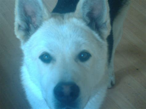 alusky puppies for sale american molosser breeders breeders breeds picture