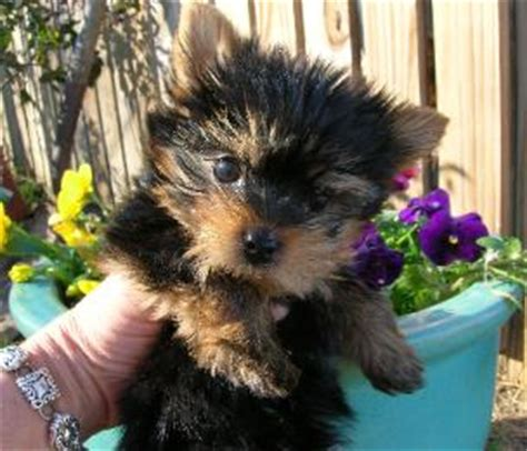 yorkie puppies for sale in ga akc terriers for sale welcome teacup yorkies ga fl al
