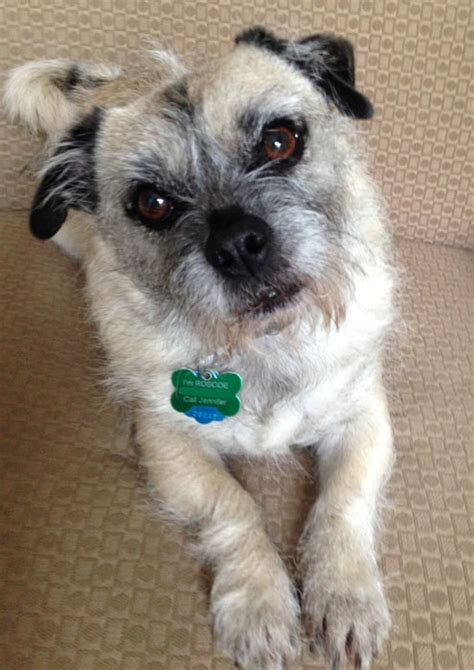pug terrier mix roscoe my pug cairn terrier mix reading writing