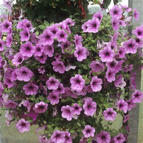 surfinia fiore petunie e surfinie differenza piante annuali