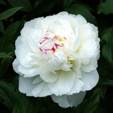 Tas Rabbit Flower paeonia lactiflora shirley temple peony