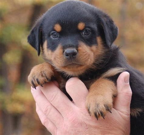 rottweiler puppies for sale in ta rottweiler sale singapore rottweiler puppies buy buy rottweiler breeders rottweiler