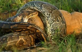 Do Jaguars Eat Pythons