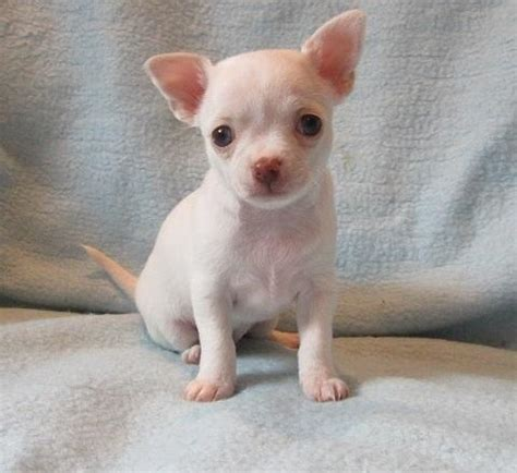 chihuahua puppies for sale ta chihuahua sale ireland chihuahua puppies buy buy chihuahua breeders chihuahua dogs breed chihuahua dogs for adoption