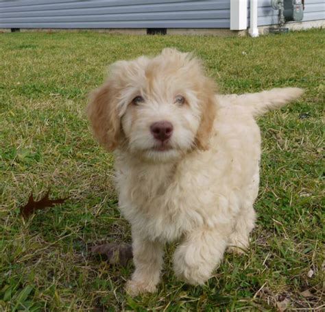 mini labradoodles size goldendoodle mini grown search puppies