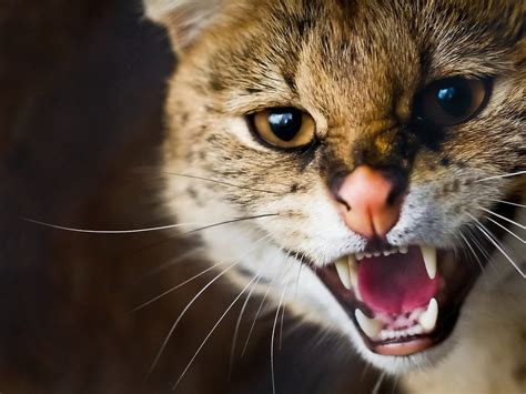 Wallpaper Angry Cat | angry cat hd wallpapers
