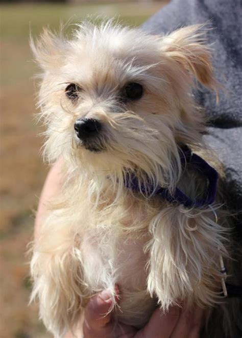 biewer yorkie maltese mix 757 best images about city on chihuahuas poodles and yorkie