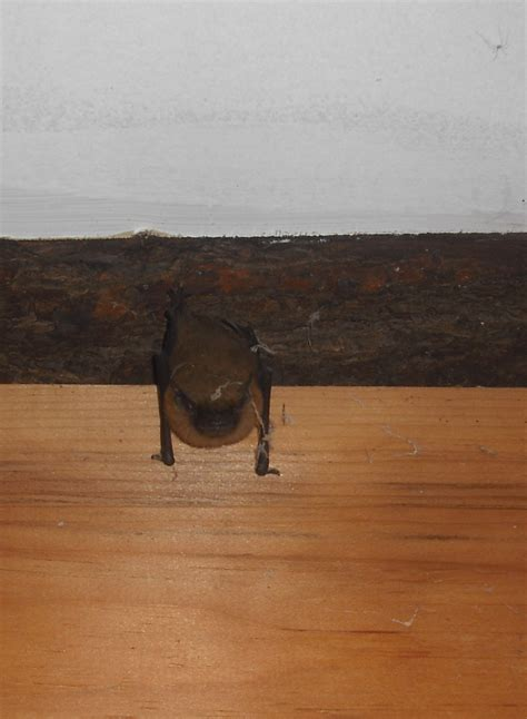 bat trapped in room creatures tracks spiders and bats cedar writes