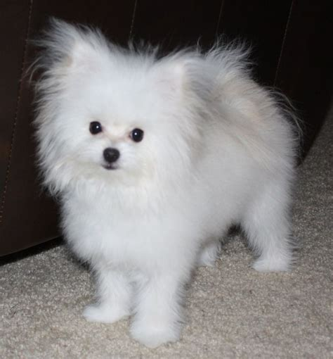 mix pomeranian pomeranian mixed with maltese