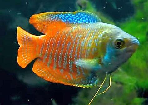 dwarf gourami colisa lalia tropical fish keeping
