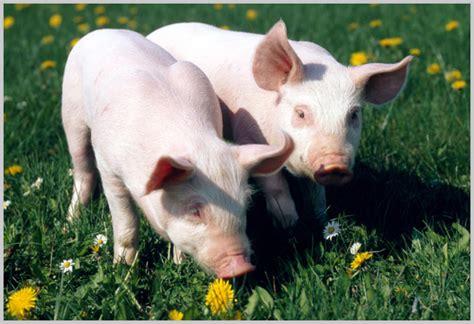 alimentazione suino natcor srl alimenti da agricoltura biologica no ogm e