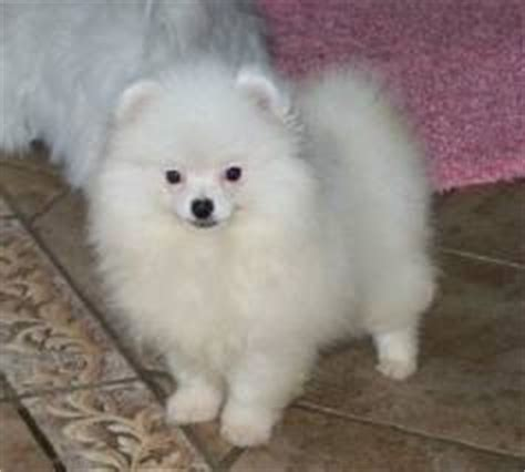 pomeranian for sale hawaii india ads for pets animals gt dogs puppies 3 free classifieds muamat