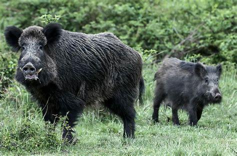 imagenes de animales jabali jabal 237 escudero 191 existe realmente o es s 243 lo una leyenda