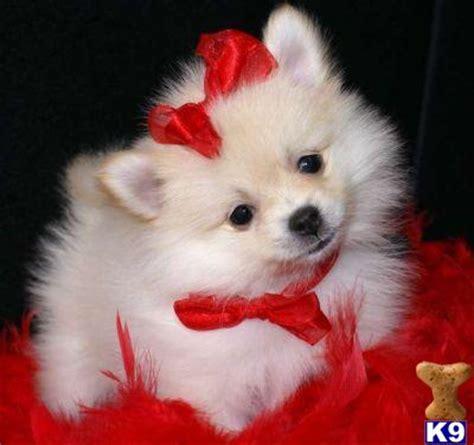 pomeranian dogs for sale in sri lanka pomeranian dogs for sale in sri lanka