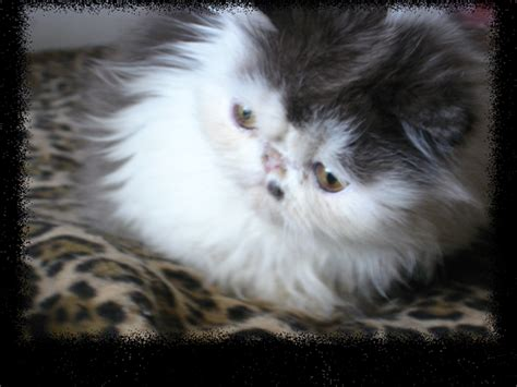 Sho Kucing by Indonesia Cats For Sale Adoption Buy Sell Adpost