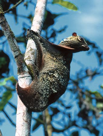 mammifero volante lemure volante