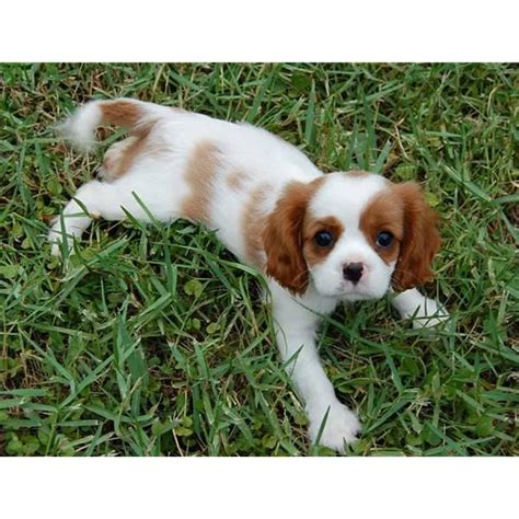 cavalier spaniel puppies puppy dogs king charles spaniel puppies