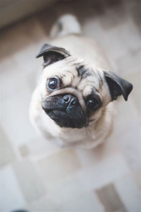 why pugs are 19 reasons why pugs are the worst dogs to live with