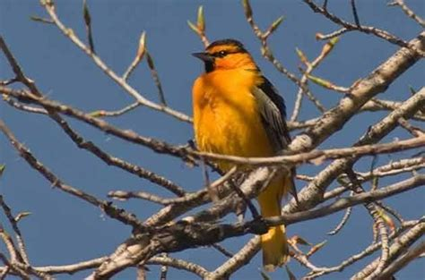 how to attract baltimore orioles to your backyard oriole by birds blooms magazine birds birds and more