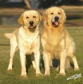 difference between a labrador and a golden retriever faire la diff 233 rence entre les retrivers diff 233 rence